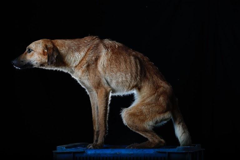 とても神経質で、人が寄ると鳴いて反応する。争いごとは嫌いだが、他の犬の食べ物を盗み食いするのが好き。ロステケスで8月撮影(2016年 ロイター/CARLOS GARCIA RAWLINS)