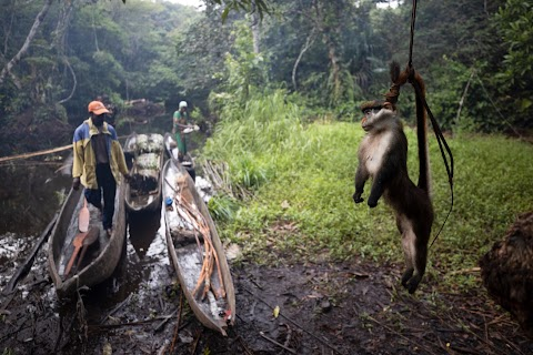 In Congo, part-time hunters boost income with bushmeat