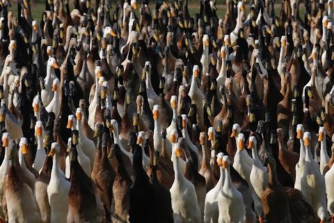 Quack squad on the hunt