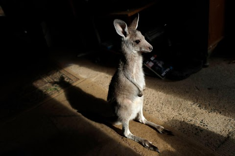At home with couple who saved baby kangaroos from the fires