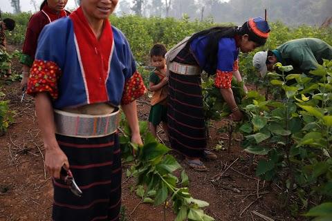 Myanmar hills embrace silkworms over poppies
