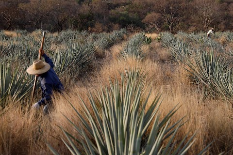 Tequila boom rooted in traditional farming techniques