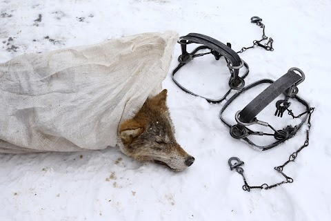 Wolf-hunting near the Chernobyl zone