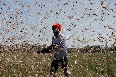 Farmers fight back: making animal feed from a locust plague
