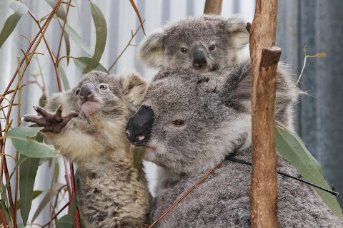 From disease to bushfires, Australia's iconic koalas face bleak future