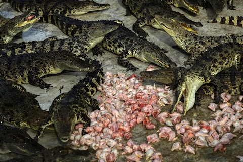 Thailand's crocodile farms