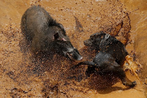 Indonesian villages pit wild boars against dogs