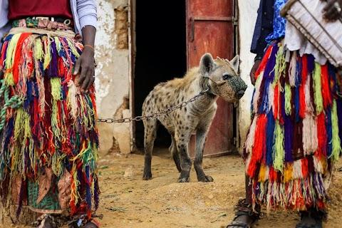 Nigeria's hyena men put maligned animals centre stage